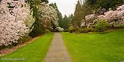 The cherry trees along azalea way were in full bloom at the University of Washington's arboretum