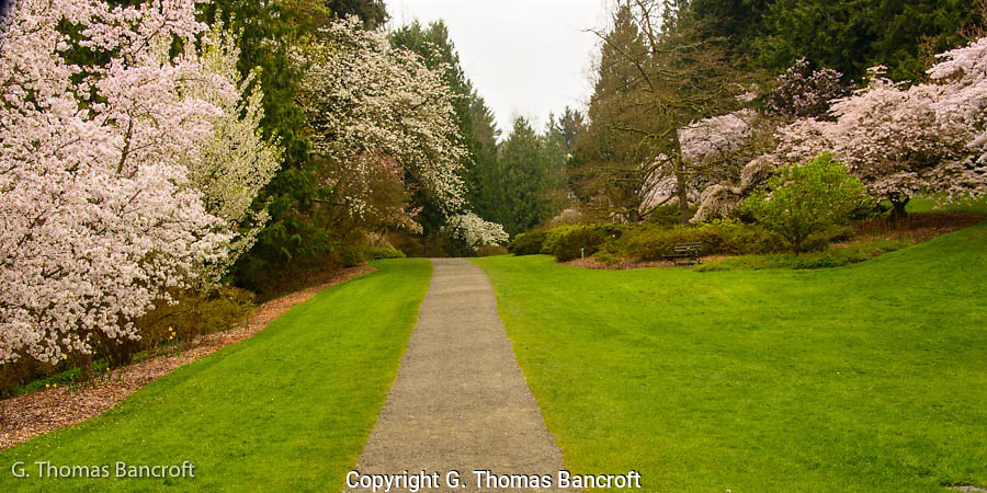The cherry trees along azalea way were in full bloom at the University of Washington's arboretum