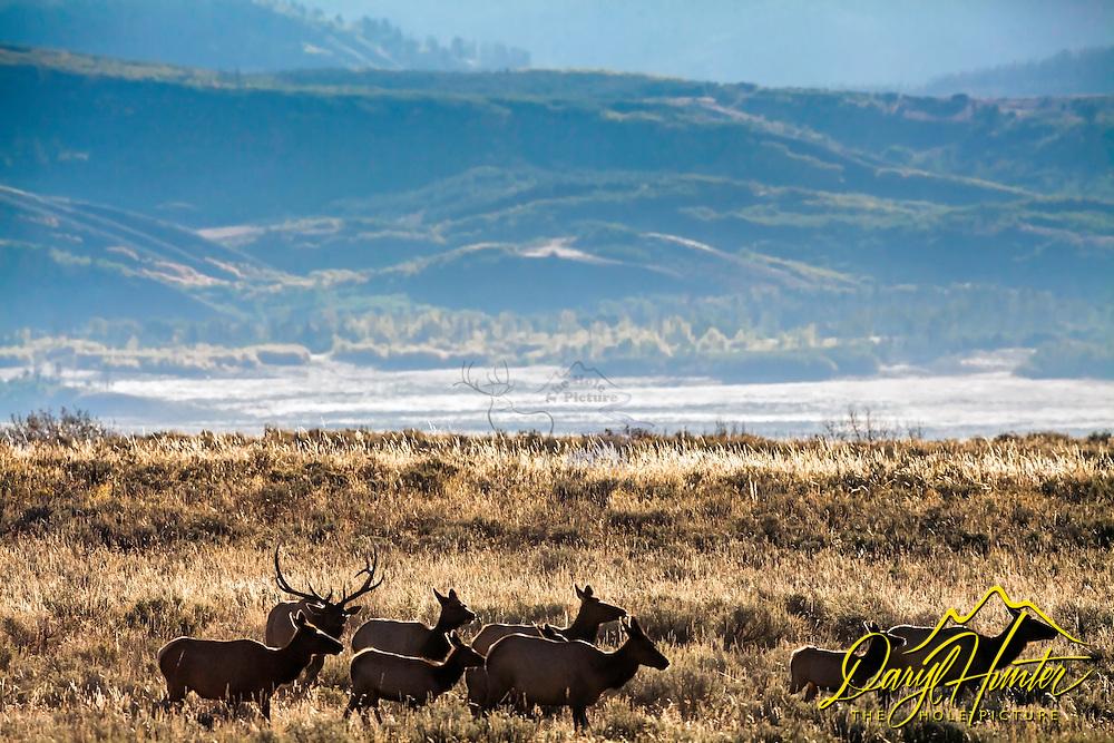 The Elk Rut, Jackson Hole, Wyoming