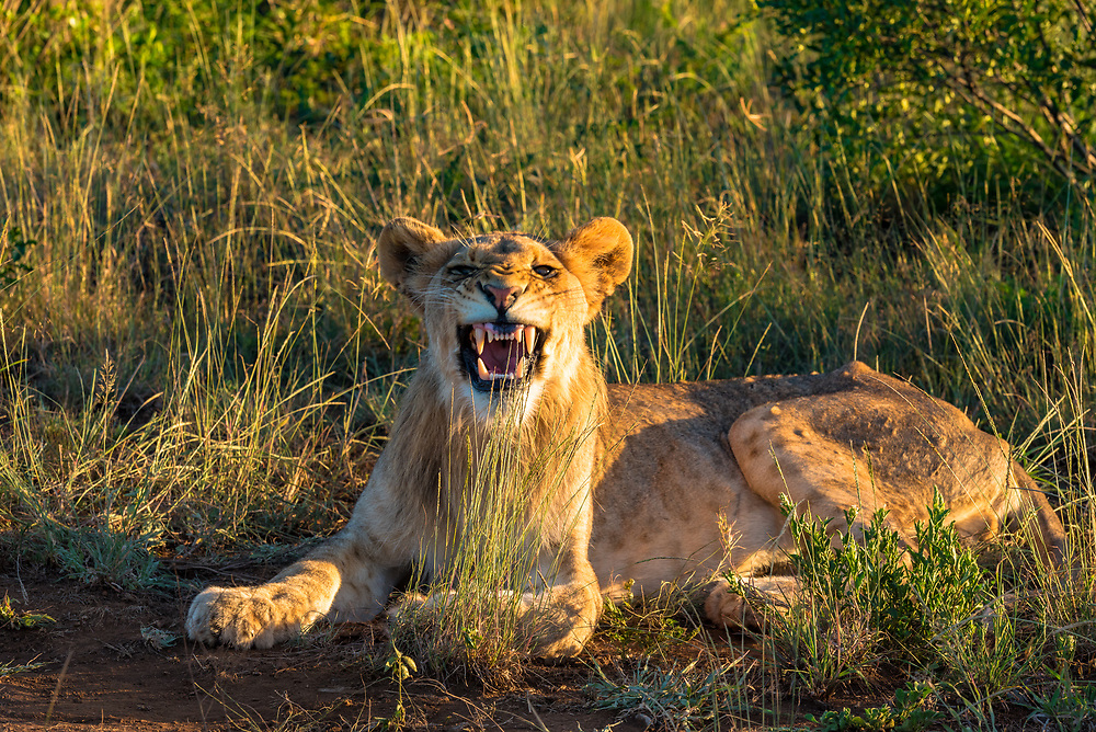 A lion in the Savanna bares her teeth