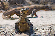 Komodo Dragon (Varanus komodoensis) in Komodo Island, Indonesia. The Komodo Dragon is the world's largest lizard, reaching more than 9ft. in length and weighing more than 190lbs.