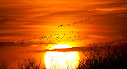 Sandhill Cranes over the Platte River in Nebraska at sunset during their annual migration north.