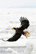 JAPAN, Eastern Hokkaido.Steller's sea eagle (Haliaeetus pelagicus) taking off (IUCN 2010: Vulnerable)