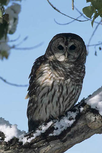 Barred Owl, (Strix varia)  Portrait. Captive Animal.