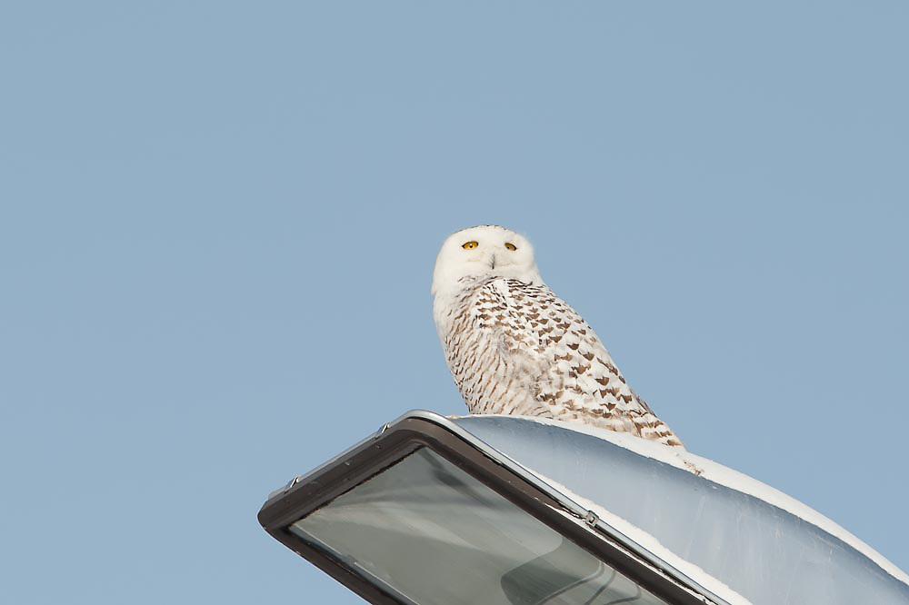 Snowy Owl Flight Syracuse Airport Snowy Owl Flight Syracuse NY Airport