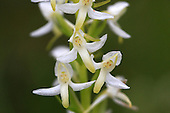 Scandinavian orchids