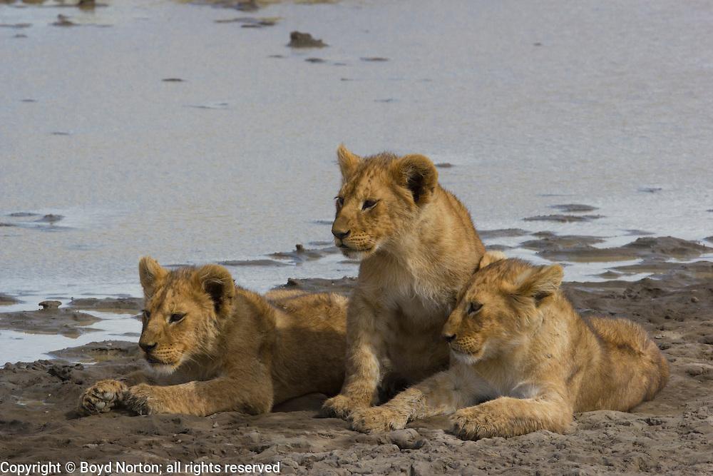 lion cubs, part of a pride,  Serengeti National Park, Tanzania