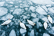 Mute Swans, Cygnus olor, Detroit River, Ontario, Canada