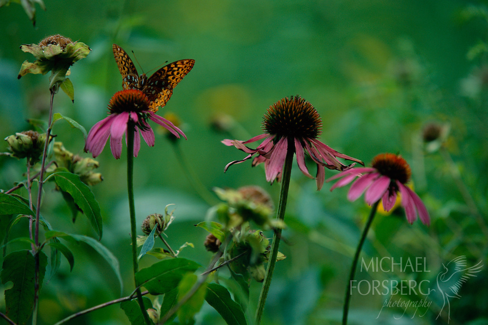 Ponca State Park, Dixon County, Nebraska  A Great Spangled Fritillary finds nourishment on a purple coneflower in Ponca State Park. Found in the United States and Canada, this large butterfly has a wing span of 2-1/2 to 4 inches. The upperside of their wings are orange-brown in color with a black pattern of lines and spots. On the underside, the forewing also features a black pattern of lines and spots. However, on the hindwing, rather than black, there is a beautiful metallic silver pattern. Great Spangled Fritillary can be found in open, moist places including fields, valleys, pastures, meadows, open woodland, and prairies. They feed on nectar from many species of flowers including milkweed, thistle, and purple coneflower.