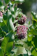 native milkweed in bloom