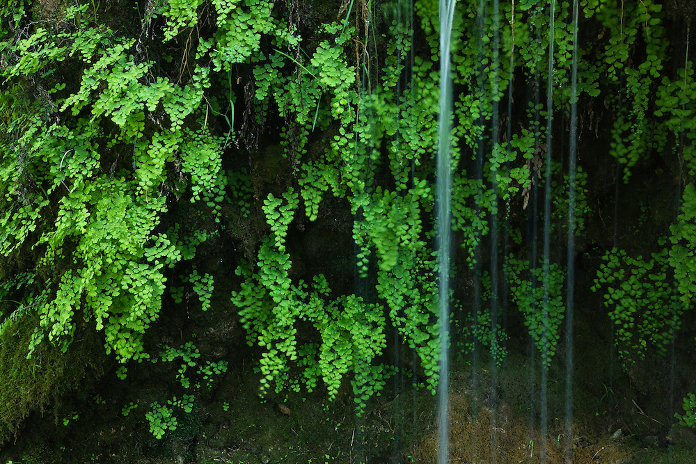 The black maidenhair fern, Adiantum capillus veneris, near Kravice falls, Trebizat River, a tributary of the Neretva River. Bosnia-Herzegovina. May 2009.<br /> Elio della Ferrera / Wild Wonders of Europe