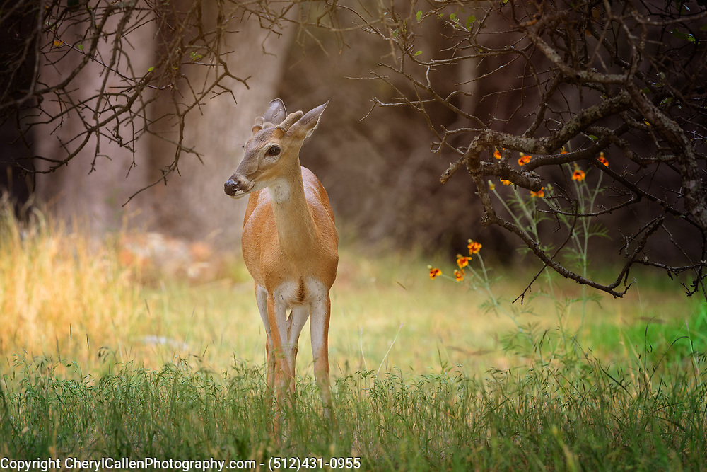 White-tailed buck with new antler buds