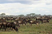 Africa, Tanzania, Serengeti National Park annual migration of over one million white bearded (or brindled) wildebeest and 200,000 zebra. Photographed in April