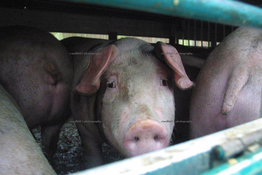 Ein Schwein in einem Tiertransporter auf dem Weg ins Schlachthaus. ..Pigs on a transport truck heading to a slaughterhouse.