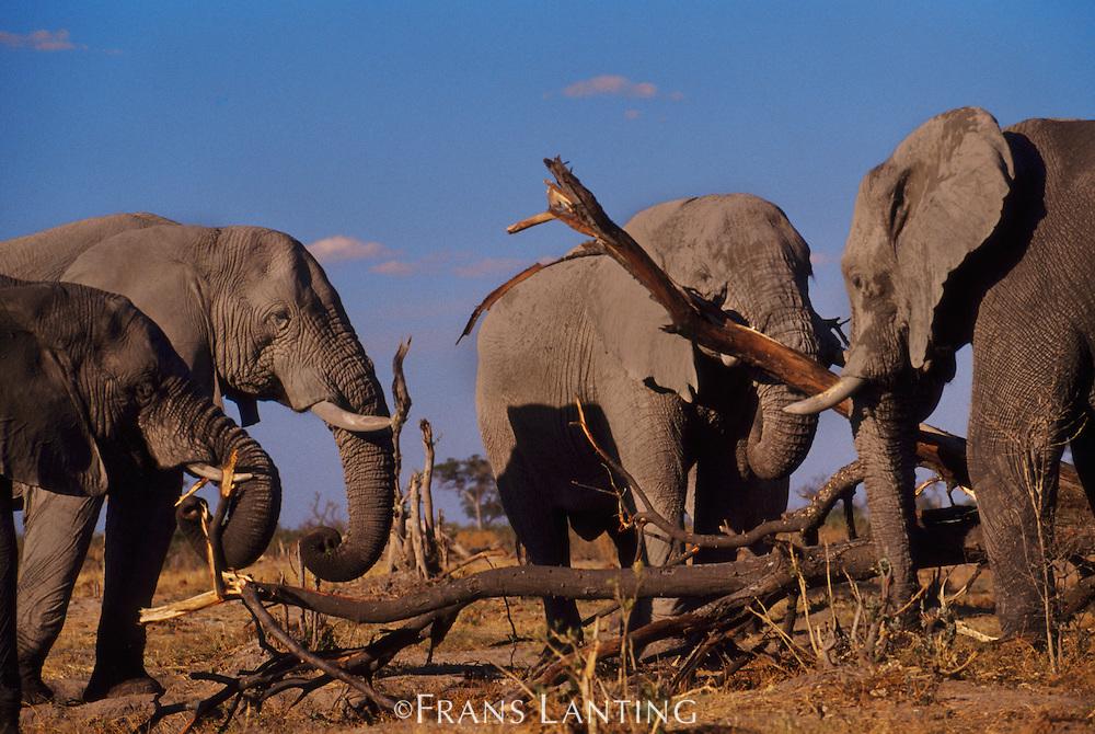 African elephants, Loxodonta africana, eating tree bark, Chobe National Park, Botswana