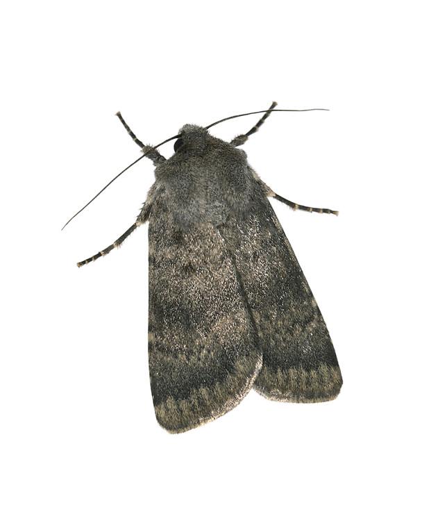Northern Rustic - Standfussiana lucernea