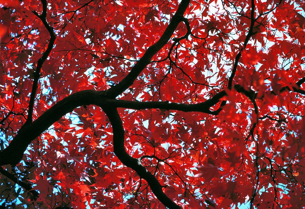 Scarlet maple leaves contrast with blue sky at Nikko N. P., Japan.