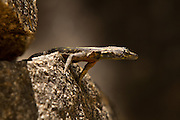 A juvenile common flat lizard (Platysaurus intermedius) in Matobo National Park, part of the Motopos Hiils area in Zimbabwe. The park is an U.N. UNESCO World Hertiage Site. © Michael Durham / www.DurmPhoto.com