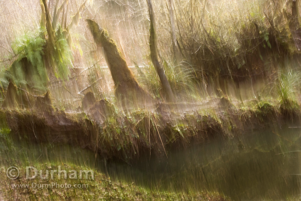 Heavy rain in a swampy forest along the Oregon Coast. The camera was moved during the exposure to enhance the effect of rain.