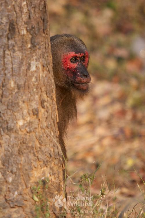 Wild Stump-tailed macaque, Macaca arctoides.