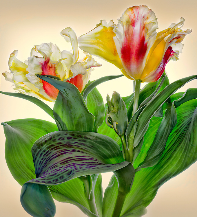 "Parrot tulip ""Zampa"" / #VAR272"