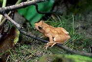 Peeper Tree Frog, Hyla crucifer; Ohio