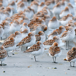 Western Sandpipers resting at the Copper River Delta near Prince William Sound, Ak