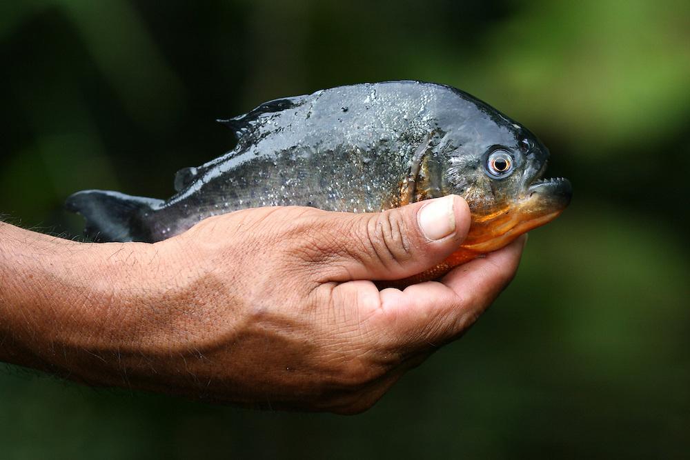 Fisherman holds a freshly caught Red Piranha (Serrasalmus Natteri)