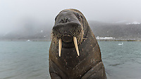 The Walrus is a big, heavy animal, but he can also be very gentle and curious. This youngster came all the way up to see what was sitting in the sand on his beach. From the west coast of Svalbard.