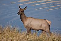 Cow elk (Cervus elaphus)  during the autumn season.  Colorado.