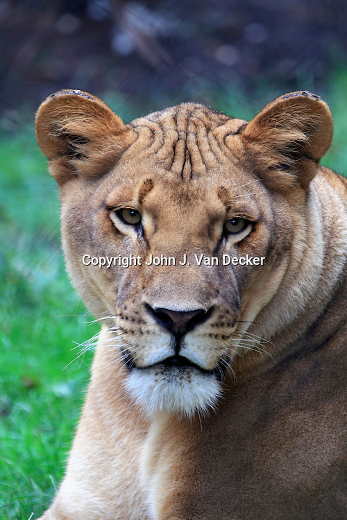 African Lion, Panthera leo, Cape May County Zoo, New Jersey,