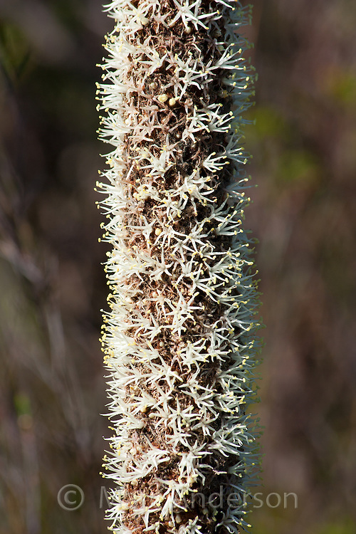 A flowering Grasstree plant (Xanthorrhoea), Royal National Park, Australia