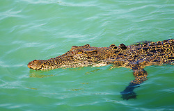 A saltwater crocodile cruises near the surface in Kimberley coastal waters.