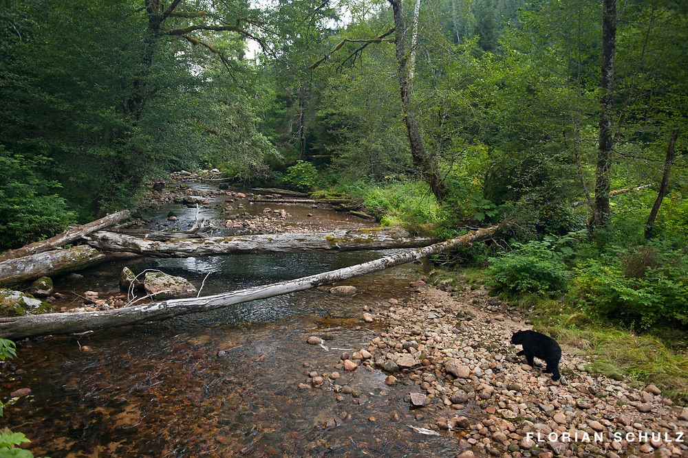 Black Bear moving along a salmon stream in the Great Bear Rainforest of British Columbia, Canada