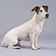 Jack Russell Terrier seated and looking to right on gray background.