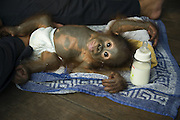 Bornean Orangutan<br /> Pongo pygmaeus<br /> 1 year old infant at bottle-feeding time<br /> Orangutan Care Center, Borneo, Indonesia