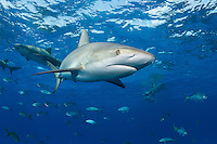 Caribbean Reef Shark near the surface, with Lemon Sharks and Jacks<br /> <br /> Shot in Bahamas