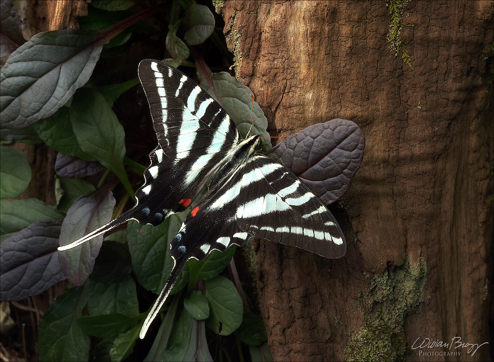 Zebra Swallowtail butterfly (Protographium marcellus)