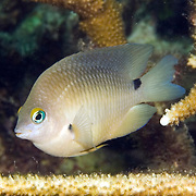 Threespot Damselfish inhabit reef tops in areas with algae in Tropical West Atlantic; picture taken Utila, Honduras.