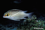 twoline threadfin bream or monocle bream, Scolopsis bilineata, Similan Islands, Thailand ( Indian Ocean - Andaman Sea )