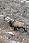 Large bull elk in winter habitat