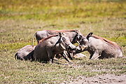 a family of Warthog (Phacochoerus africanus) Photographed in Tanzania