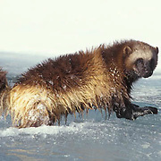 Wolverine, (Gulo gulo) Adult crossing semi frozen river. Winter. Rocky mountains. Montana.  Captive Animal.