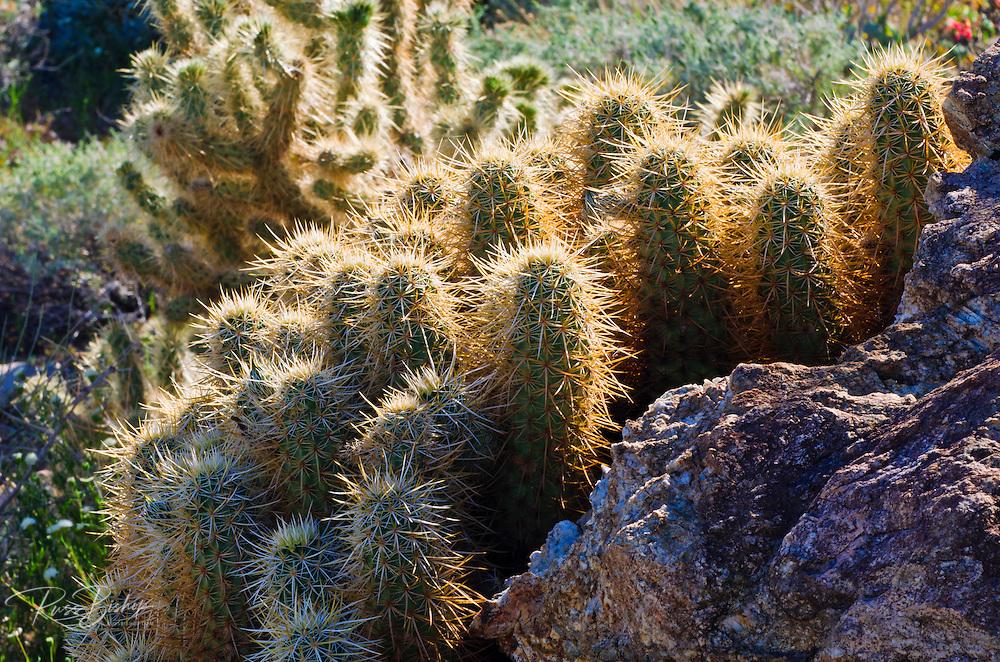 Cholla in Plum Canyon, Anza-Borrego Desert State Park, California USA