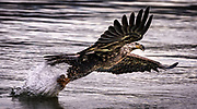 Bald Eagle striking a fish near the Conowingo Dam in Darlington, MD.
