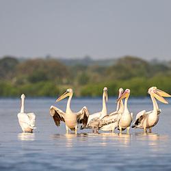 Pelicanos (Pelecanus onocrotalus) nas salinas da baía do Mussulo. Angola. Fauna de Angola