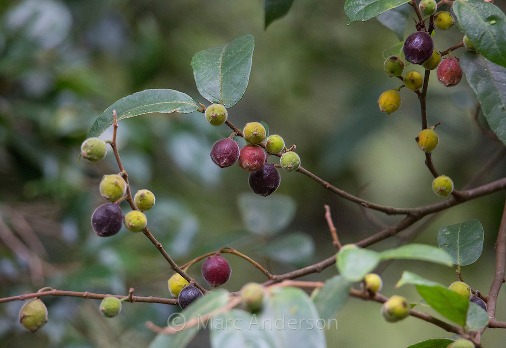 Fruit on a Sandpaper Fig (Ficus coronata), Royal National Park, NSW Australia