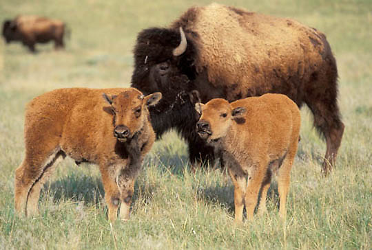Bison, (Bison bison) Pair of calves. Spring. Montana.