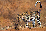 Leopard, Panthera pardus, from Samburu, Kenya.