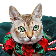 Close-up of Beautiful Singapura Cat dressed up for holiday in red and green velvet collar costume. Cat looking at viewer,and seen mainly from shoulders up, and sitting on green pet bed with glimpse of candy canes. Big bright eyes and big ears, typical of this pedigree breed. Though not isolated, background above bed area is uniform pure white. Model release for pedigree cat
